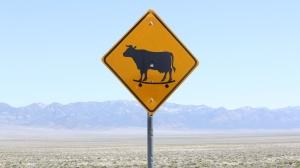 Utah's famous skateboarding cows